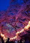 提灯に色づく桜