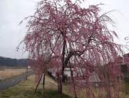 三春の滝桜 3.31