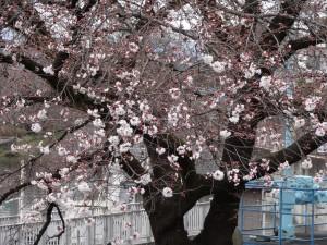 桜 第三水門上 3.26