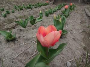 チューリップ開花3.24