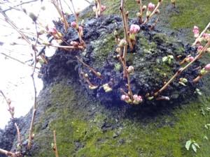 桜の開花状況  つぼみが開きません!