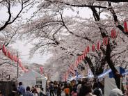 桜開花状況4-2