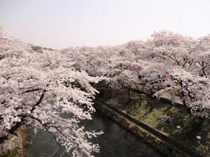 桜の開花状況48満開