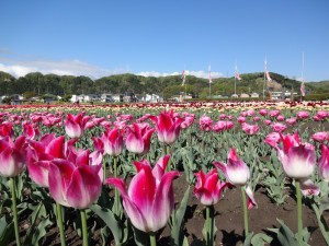 It is over in tulip Festival today!