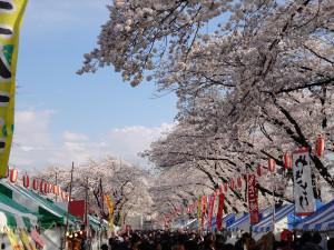 満開の桜4-5a