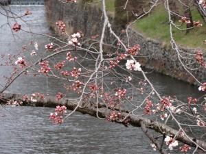桜 3.28