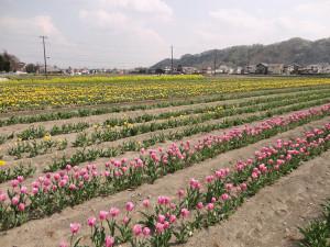 チューリップ4-10現在2〜3分咲き