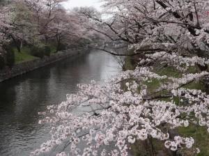 桜 満開 4.1