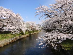 4-5桜の開花状況満開a