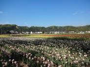 Tulipa 4.23