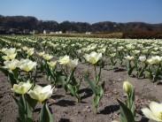 3.30チューリップ開花