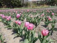 チューリップの開花状況412
