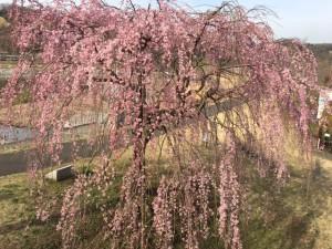 三春の滝桜横